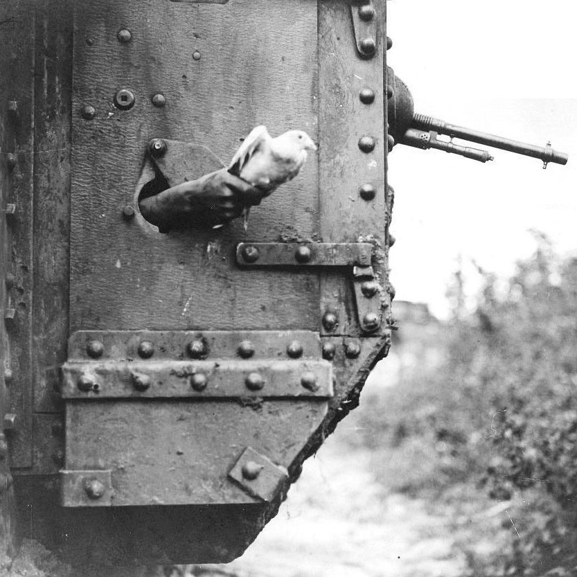 A messenger pigeon released from a British tank during World War I